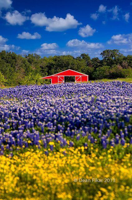 Red Barn in the Bluebonnet Field | Texas bluebonnets ...