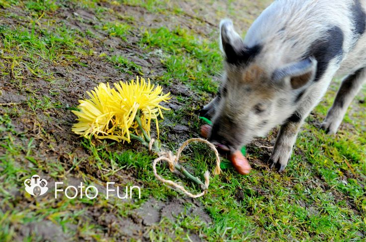 """Oscar the pig, filming of Short film for Waipa film challenge competition, """"A twist in the tale"""""""