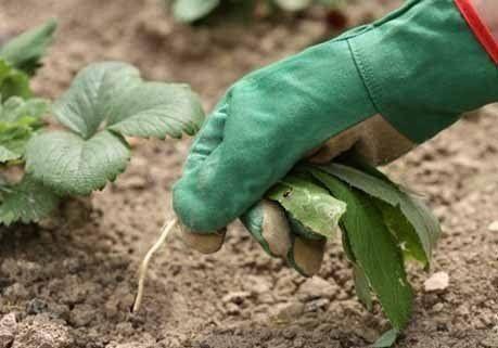 """7 секретов """"стоп сорняк""""!!!Наши подписчики уже много раз нас просили написать о способах борьбы с сорняками. Отвечаем.1. Сварите сорняки. Обычно после переполки, находящиеся в земле корни сорняков быс…"""