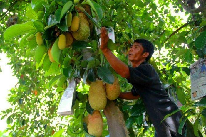 Desaru Fruit Farm, Kota Tinggi, Johor – Malaysia's Best Argi-Tourism Site - http://blog.travelbuddee.com/blog/desaru-fruit-farm-kota-tinggi-johor/
