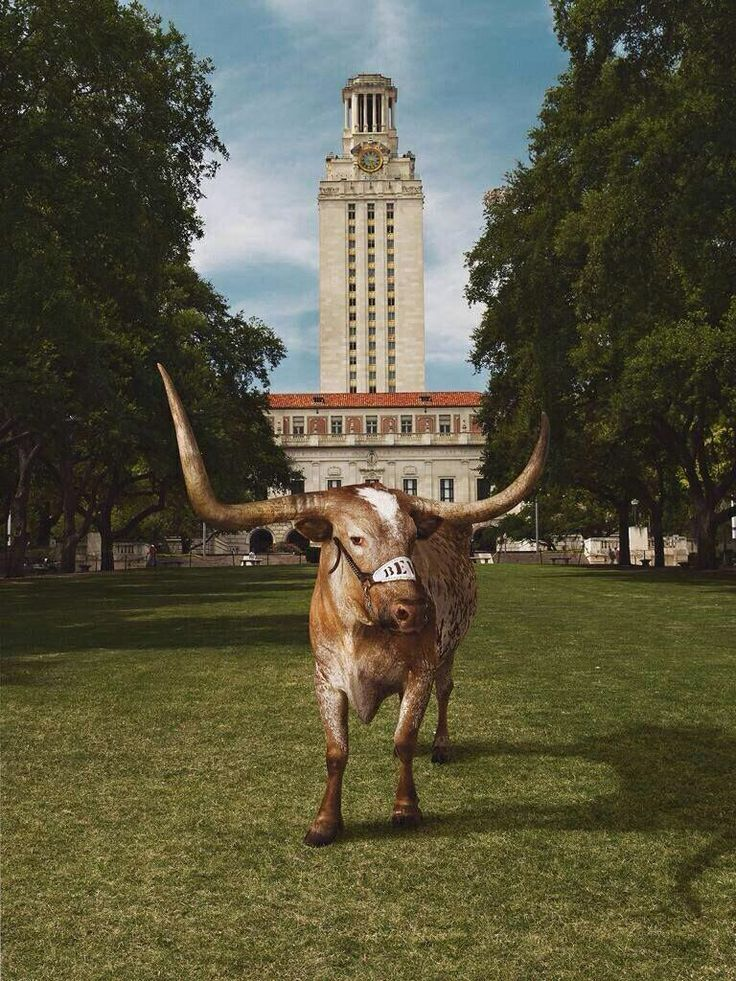 Texas Longhorns. Bevo is the cutest <3