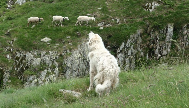 The Pyrenean mountain dog, or patou, is placed among sheep at an early age and becomes very protective of them against bears and other predators. Blog & book www.trekthepyrenees.com