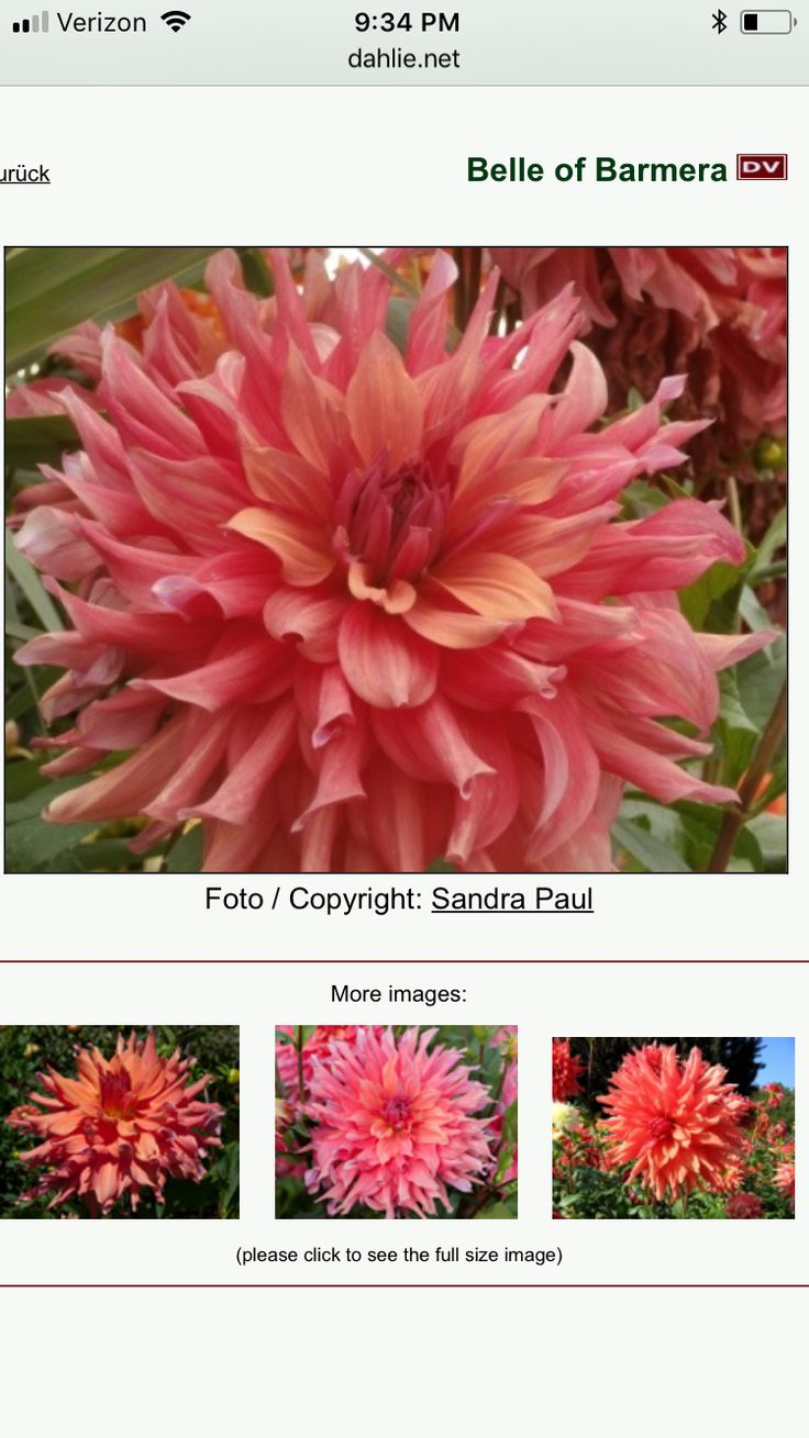Belle of Barmera-dinner plate & The 10 best New Dahlia flower verities for 2018 images on Pinterest ...