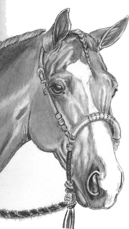 pencil portrait of horse wearing bosal