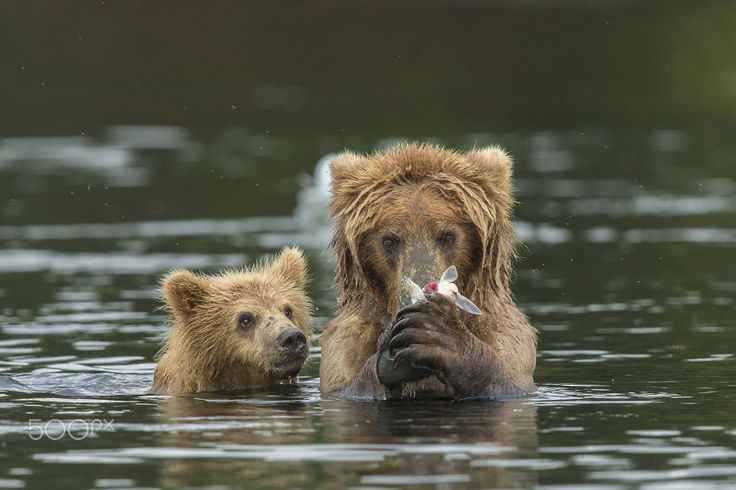 15-maes-ursas-ensinando-seus-filhotes-ursos-5