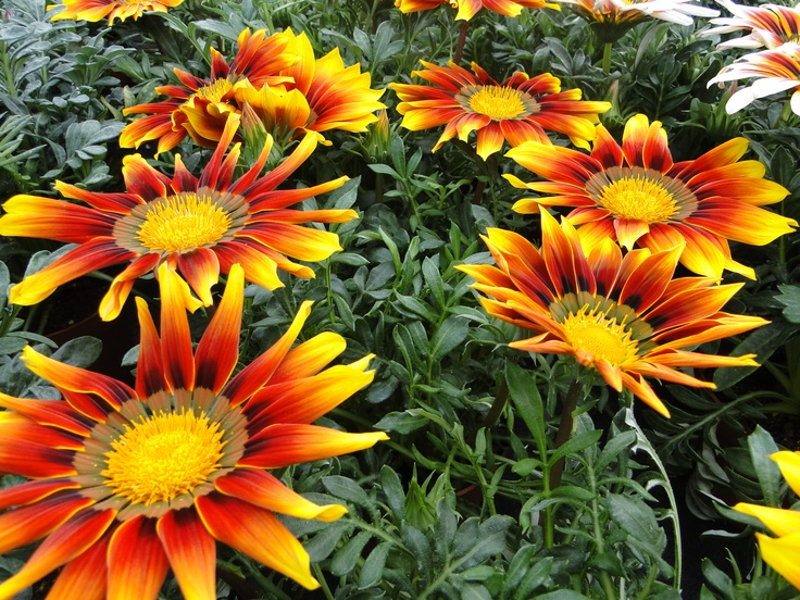 Gazania van Combinations