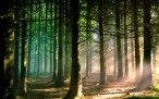 Pine Forest HD Widescreen Wallpapers