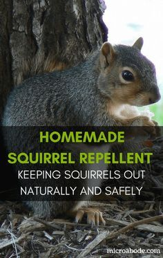 Homemade Squirrel Repellent: Keeping Squirrels Out Naturally and Safely | A homemade squirrel repellent can be a safe and effective solution for organic gardeners to keep squirrels out of their gardens.