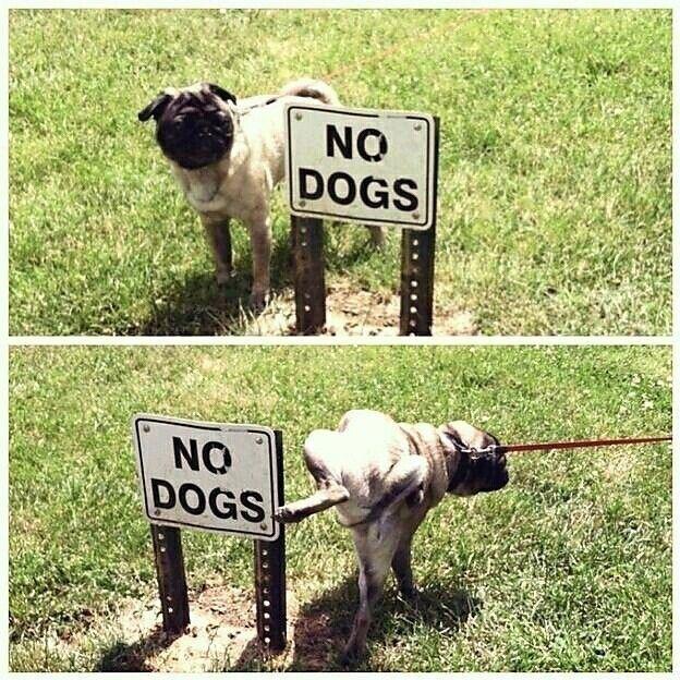 Ein echter Rebell! :D | #Mops #Pug