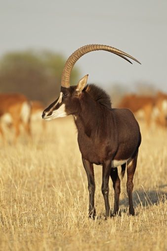 25 best SABLE ANTELOPE images on Pinterest | African ...