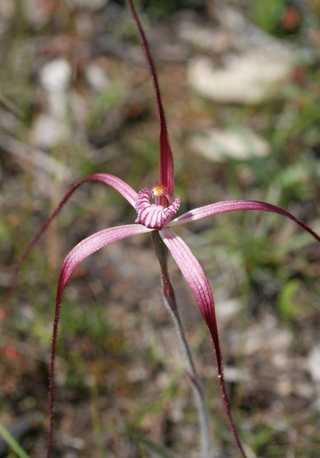 Caladenia fluvialis, postea, hiemalis, microchila – Brookton Highway, Dark-tipped, Dwarf Common and Western Wispy Spider Orchids | Orchids of South-west Australia