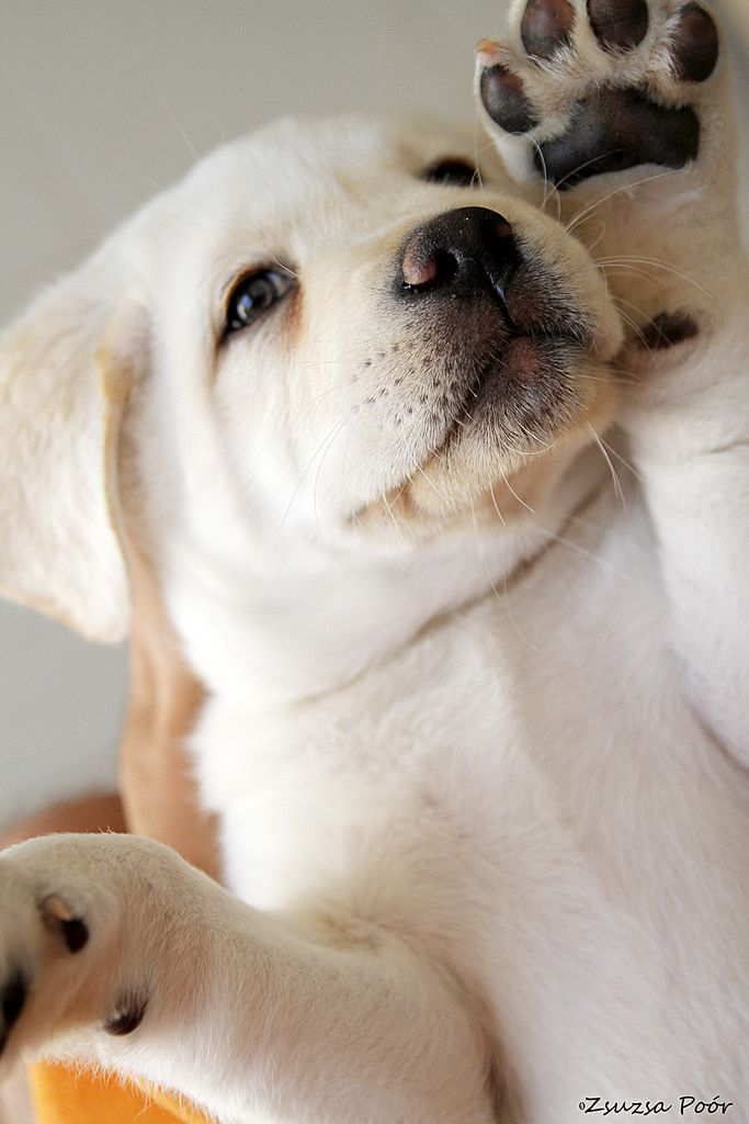 360 best LABRADORS DOGS images on Pinterest | Animals, Puppy love ...