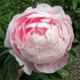 Peonies - Wow... here is a list w/ photos and descriptions of tons of types of peonies. (http://www.theplantexpert.com/peonies/PeonyList.html)