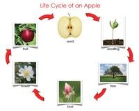 Le cycle de la pomme