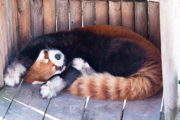 This red panda doesnt feel like working today