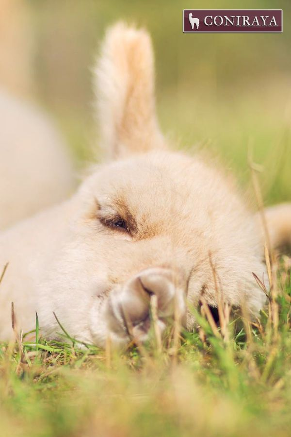 """""""I'm so tired... I'll just close my eyes for a second...maybe hour.  ;)"""" baby alpaca"""