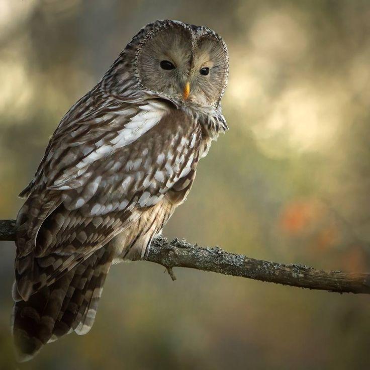 Ural owl in autumn colors https://www.facebook.com/torpedoowl
