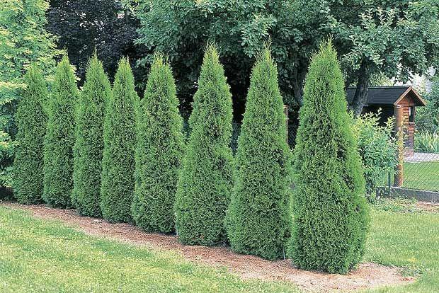 Thuja occidentalis 'Smaragd' (emerald arbor-vitae)