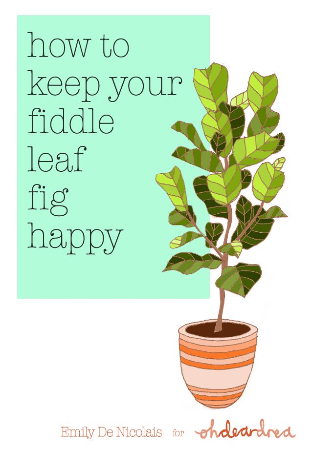 Providing Tree And Plant Care: Simple Natural Living: How To Care For An Indoor Fiddle