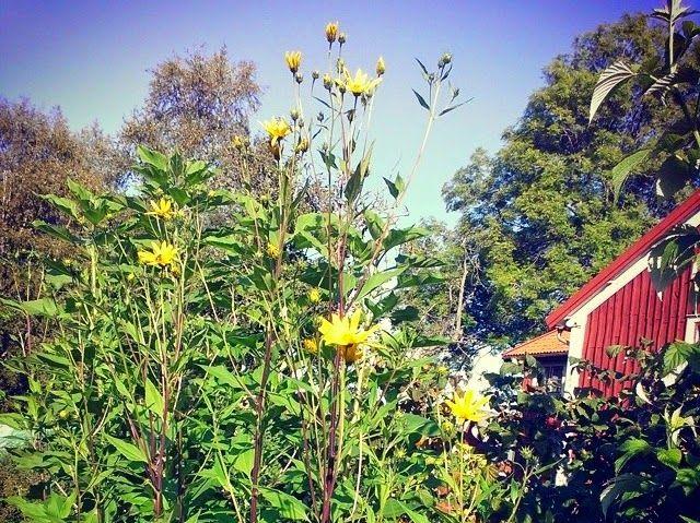 Odla jordärtskocka | Skillnadens Trädgård | Sara Bäckmo