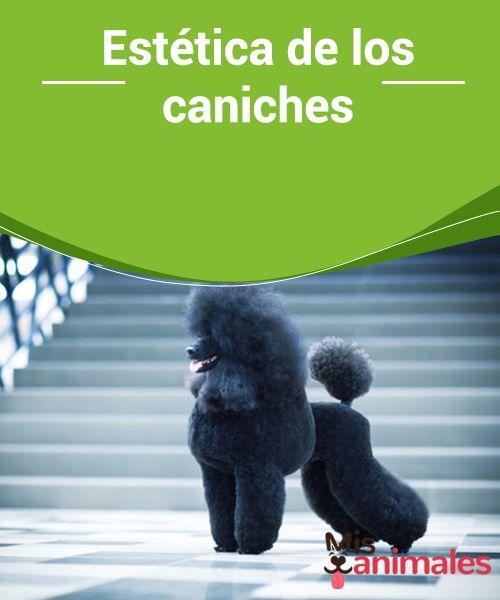 #Estética de los #caniches  Si has optado por adoptar a esta mascota o si ya es un miembro #importante de tu #familia seguro que este artículo te interesa para conocer más sobre su estética.