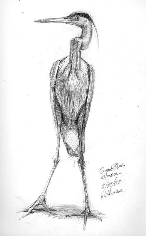 great blue heron line drawing   Drawing the Great Blue Heron   Drawing The Motmot