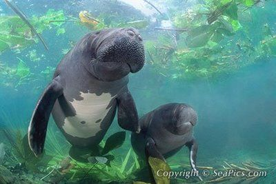 Zoológico Virtual do Brasil! Seu Safari Virtual!: Peixe-boi-da-amazônia