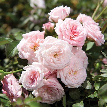 305 Best Garden: Roses Images On Pinterest | Drift Roses, Flowers And Garden  Roses