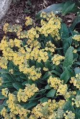 Primula elatior-Wild oxlip-Plants