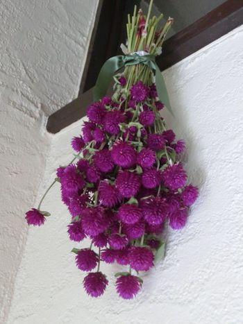 dry flower Globe amaranth(千日紅)
