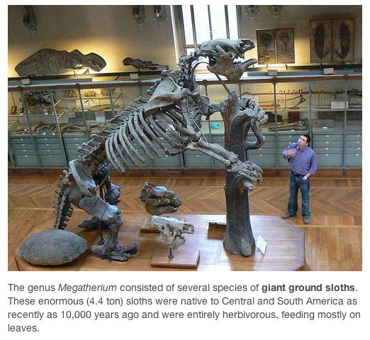 fossil - giant ground sloth
