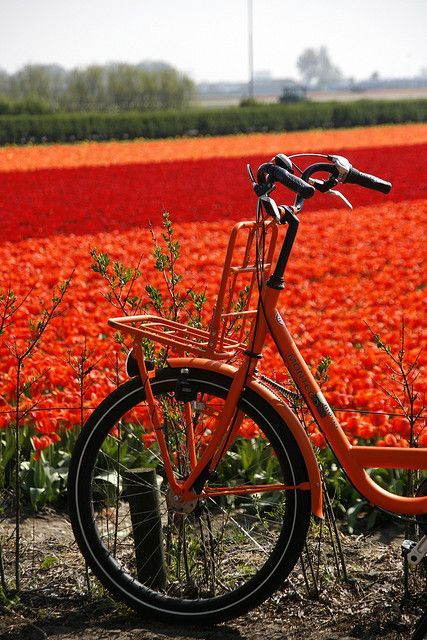 Flower bulb fields in Lisse (The Netherlands)