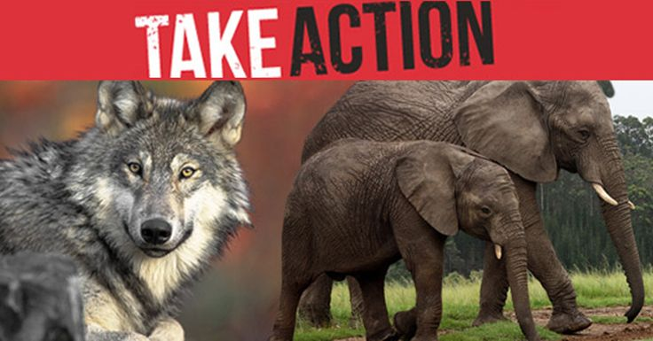 SOS!!!!!!!! DEMAND your senators OPPOSE Barrasso's bill and all efforts to GUT the Endangered Species Act (ESA)!  Please Sign and Share Widely In PROTEST!