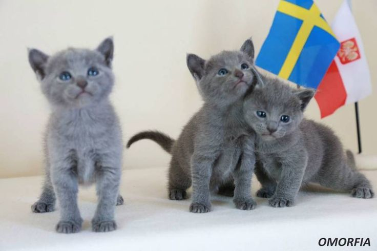 Russian Blue Kittens For Sale and Cat Breeders Cat