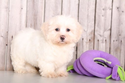 Zuchon puppy for sale in MOUNT VERNON, OH. ADN-59655 on PuppyFinder.com Gender: Female. Age: 10 Weeks Old