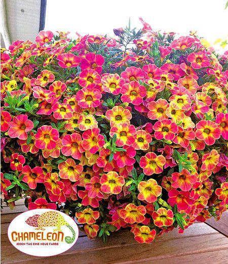 Ein Sommerblüher der Superlative für Balkon und Terrasse! Ab sofort erhältlich im Mein Schöner Garten Shop.
