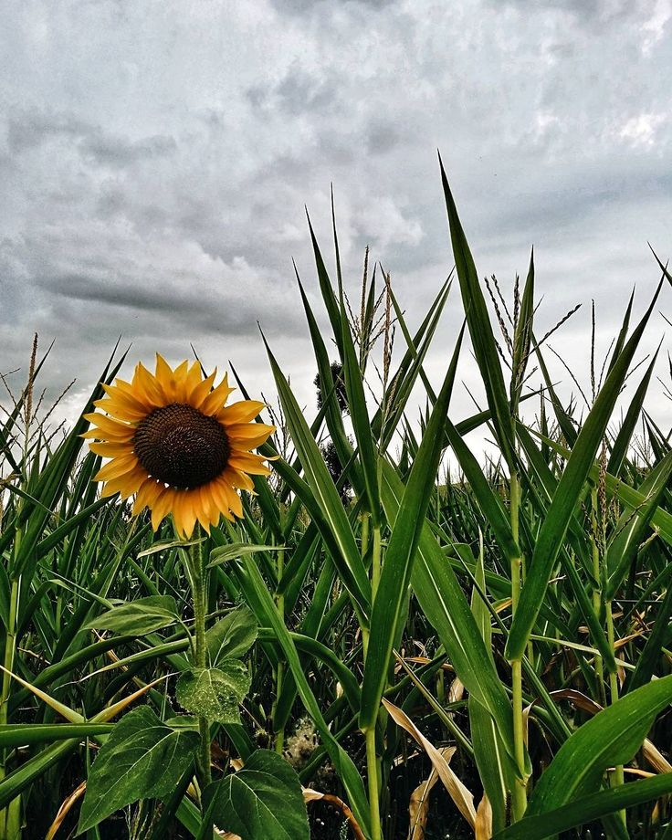 #sunflower #cornfield #Transylvania #summer #countryside