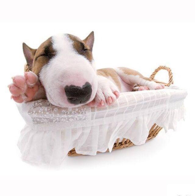 The cutest bull terrier pup eva!!