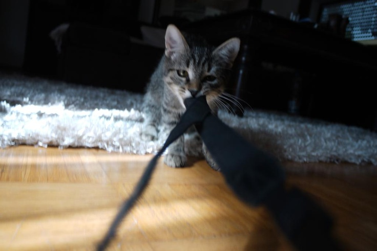 #Tiger loves to #play with the #camera strap. So Cute! #cats #part1: Cute Cats, Cat Part1, Cameras Straps