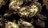 New York, le ostriche contro gli uragani