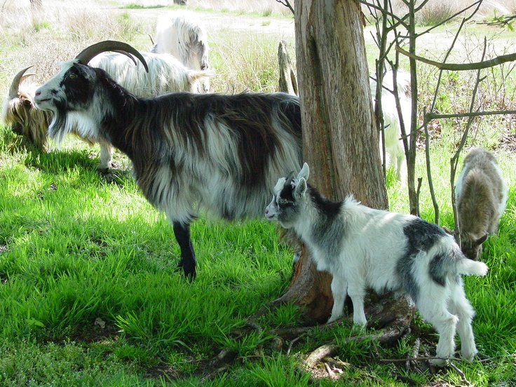 Drentse geiten