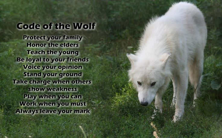 Cool white wolf wallpapers - photo#20
