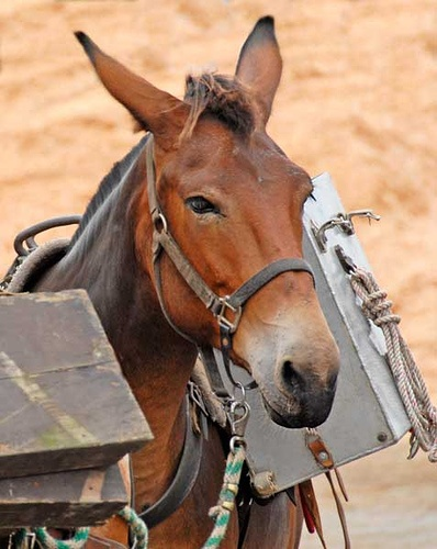Akhal Teke pack mule by Kerri-Jo | Long-Eared Equines ...