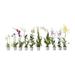 Rage of ORCHIDACEAE, Potted plants $24.99 - ikea