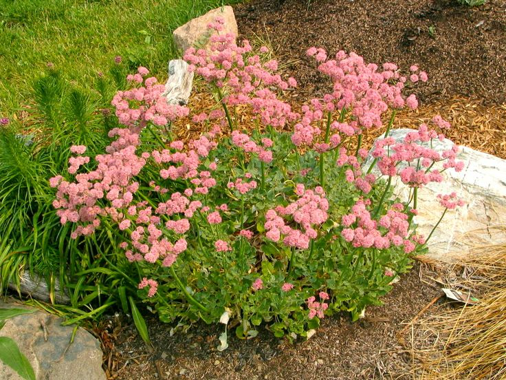 49 Best Images About California Native Plants On Pinterest