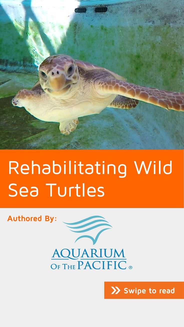A juvenile loggerhead sea turtle that came to the Aquarium in September 2015 with an injury was rehabilitated by the veterinary staff and released back into the ocean in November 2015. Learn more about their mission on #NoteStream under #nature. Click through to download the app for free.