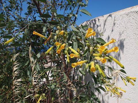 Nicotiana glauca-Νικοτιανή,Καπνόδενδρο.