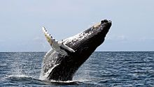 humpback.......................                         Baleen whales are characterized by having baleen plates for filtering food from water, rather than having teeth.