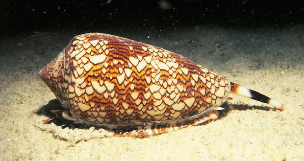 Cone snail - Conus spp. Venomous, predatory snail,  known as the cone snail. This unique snail hunts fish by extending its proboscis, shaped like a harpoon, to temp its prey. When fish come close enough, the snail strikes them with venom 1000 times stronger than morphine, causing paralyses.  Cone snail venom is now used in a drug called Ziconotide to relieve chronic pain. In a single sting from one of these molluscs there is enough venom to kill 15 healthy adults.