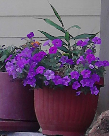 petunias and ginger